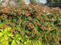 Abelia x grandiflora - Habit - Click to enlarge!