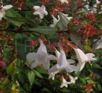 Abelia x grandiflora - Flowers, side view - Click to enlarge!