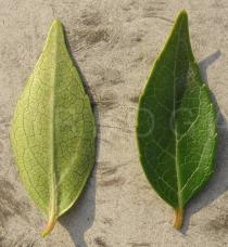 Abelia x grandiflora - Upper and lower surface of leaf - Click to enlarge!