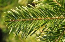 Abies grandis - Needles - Click to enlarge!