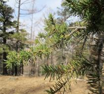 Abies sibirica - Foliage - Click to enlarge!