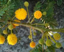 Acacia farnesiana - Inflorescences and buds - Click to enlarge!