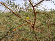 Acacia seyal - Flower head and foliage - Click to enlarge!