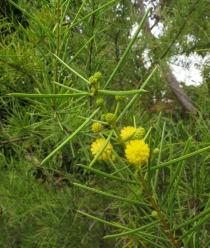 Acacia 		tetragonophylla - Click to enlarge!