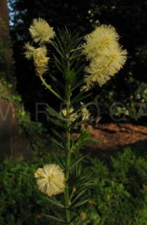 Acacia verticillata - Inflorescences - Click to enlarge!