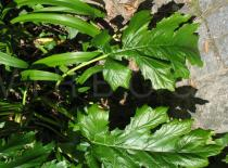 Acanthus mollis - Leaf - Click to enlarge!