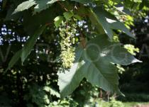 Acer pseudoplatanus - Foliage and inflorescence - Click to enlarge!