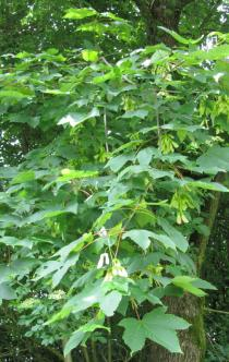 Acer pseudoplatanus - Foliage - Click to enlarge!
