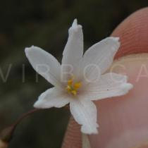 Acis autumnalis - Flower - Click to enlarge!