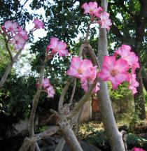Adenium obesum - Branches with flowers - Click to enlarge!