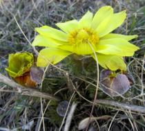 Adonis vernalis - Flower, side view - Click to enlarge!
