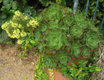 Aeonium arboreum - Habit of outdoor pot plant - Click to enlarge!