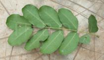 Afzelia africana - Lower surface of leaf - Click to enlarge!