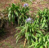 Agapanthus africanus - Habit - Click to enlarge!