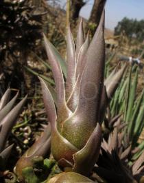 Agave vivipara - Juvenile plant sprouting in the infructescence - Click to enlarge!