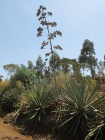 Agave vivipara - Habit - Click to enlarge!