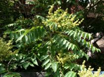 Ailanthus altissima - Inflorescence - Click to enlarge!