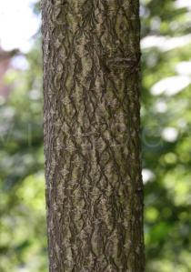 Ailanthus altissima - Bark - Click to enlarge!