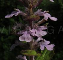 Ajuga reptans - Flower - Click to enlarge!