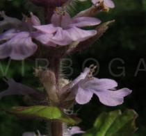 Ajuga reptans - Flower, side view - Click to enlarge!