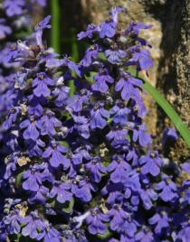 Ajuga reptans - Inflorescence - Click to enlarge!