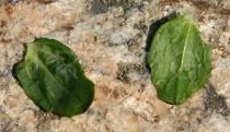 Ajuga reptans - Upper and lower surface of leaf - Click to enlarge!