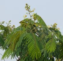Albizia chinensis - Branch - Click to enlarge!