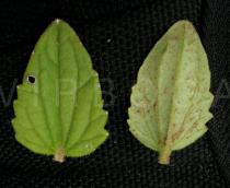 Alectra sessiliflora - Upper and lower surface of leaf - Click to enlarge!