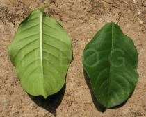 Allamanda blanchetii - Upper and lower surface of leaf - Click to enlarge!