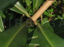 Allamanda cathartica - Leaf insertion - Click to enlarge!