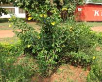 Allamanda cathartica - Habit - Click to enlarge!