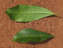 Allamanda cathartica - Upper and lower surface of leaf - Click to enlarge!