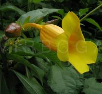 Allamanda cathartica - Flower, side view - Click to enlarge!