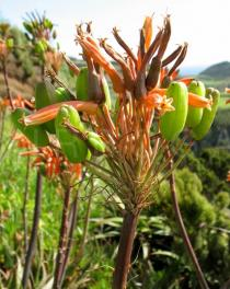 Aloe maculata - Inflorescence with flowers and fruits - Click to enlarge!