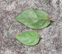 Alternanthera ficoidea - Upper and lower surface of leaves - Click to enlarge!