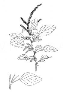 Amaranthus spinosus - Click to enlarge!