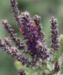 Amorpha canescens - Flowers - Click to enlarge!