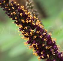 Amorpha fruticosa - Inflorescence, close-up - Click to enlarge!