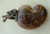 Anacardium occidentale - Ripe cashew fruit (drupe) - Click to enlarge!
