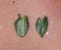 Anagallis monelli - Upper and lower surface of leaf - Click to enlarge!