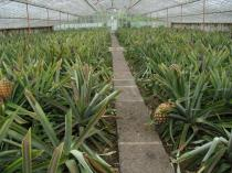 Ananas comosus - Cultivation under glass - Click to enlarge!