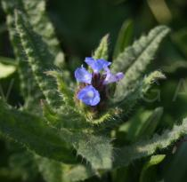 Anchusa arvensis - Flowers - Click to enlarge!