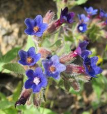 Anchusa undulata - Flowers - Click to enlarge!