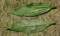 Aneilema beniniense - Upper and lower surface of leaf - Click to enlarge!