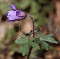 Anemone blanda - Flower, side view - Click to enlarge!