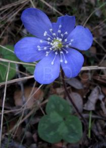 Anemone hepatica - Flower - Click to enlarge!