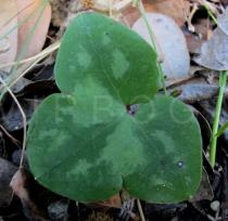 Anemone hepatica - Upper surface of leaf - Click to enlarge!