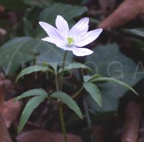 Anemone trifolia - Flower - Click to enlarge!