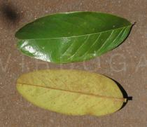 Annona monticola - Upper and lower surface of leaf - Click to enlarge!