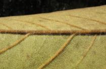 Annona monticola - Lower surface of leaf, close-up - Click to enlarge!